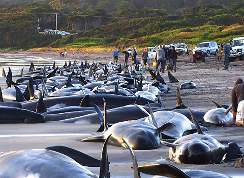 beached-whales