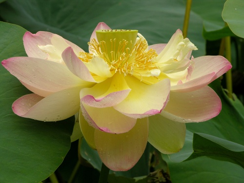 Lotus_nelumbo_nucifera_flower_